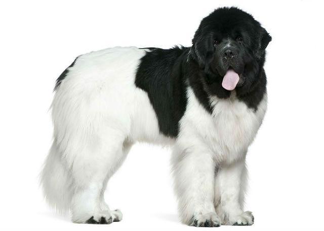Топ-10 самых сильных собак – ньюфаундленд