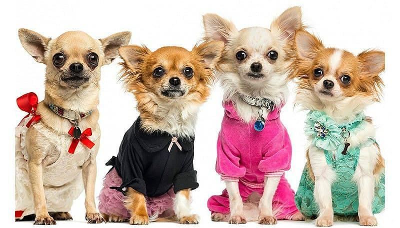 Чихуахуа – одежда для собак