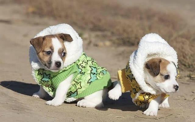 Одежда для щенков джек-рассел-терьера