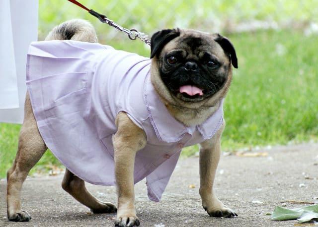 Одежда для мопсов девочек – платье