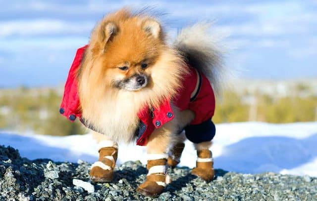Одежда для шпица – зимний комбинезон и обувь