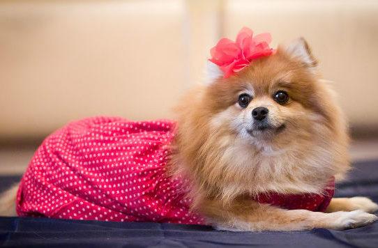 Девочка шпиц в платье