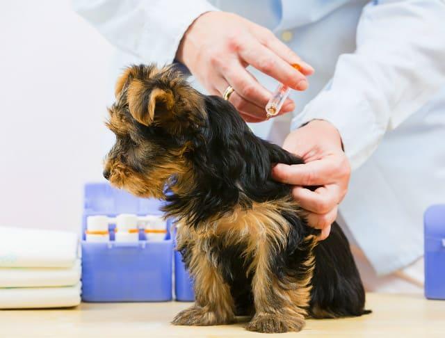 Понос у йорка – помощь ветеринара