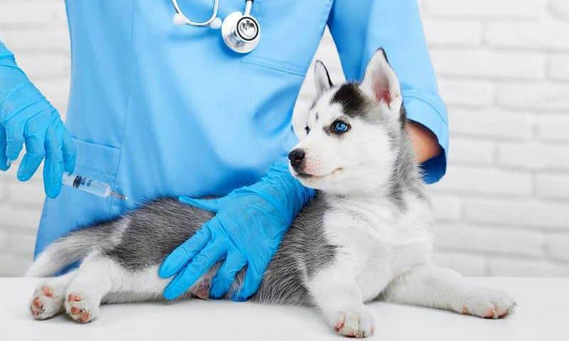 Прививка щенка сибирского хаски