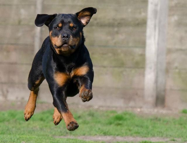 Топ-10 самых сильных собак – ротвейлер