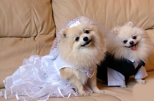 Одежда для шпица – жених и невеста