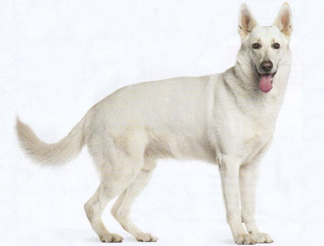 Собака породы швейцарская овчарка