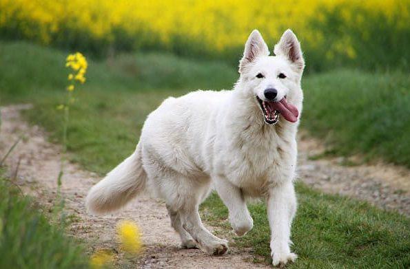 Белая швейцарская овчарка с высунутым языком