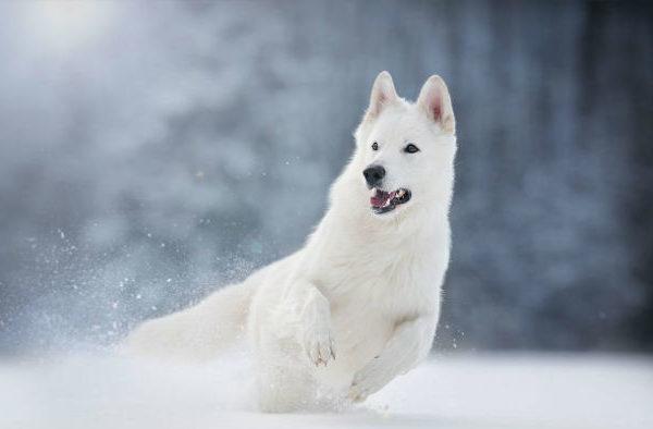 Белая швейцарская овчарка в прыжке