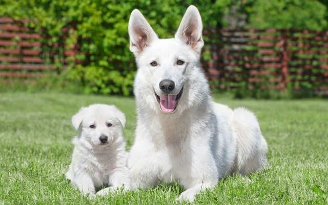 Белая швейцарская овчарка с щенком