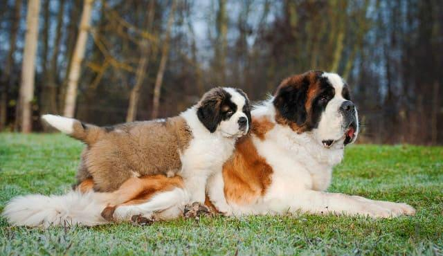 Топ-10 самых сильных собак – сенбернар