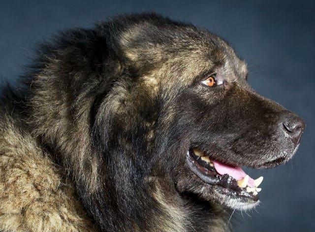 Сколько живут кавказские овчарки – возраст собаки