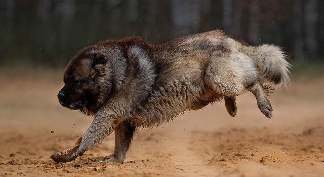 Сколько живут кавказские овчарки – прогулки и игры