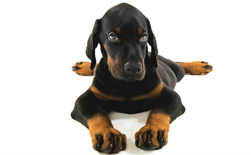 Доберман – дрессировка щенка