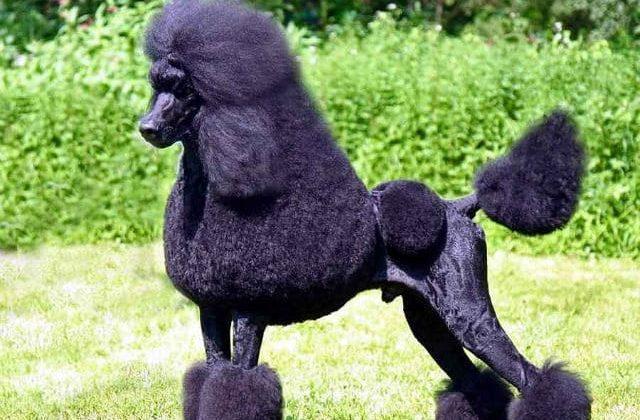 Королевский пудель черного окраса