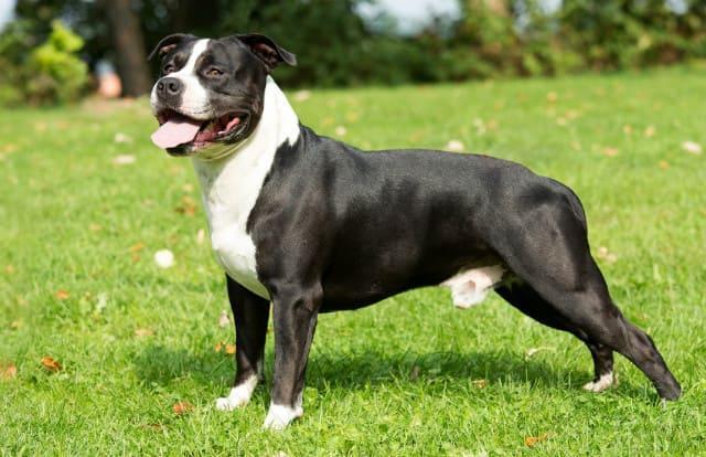 Топ-10 самых сильных собак – стаффордширский терьер