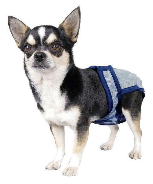 Течка у чихуахуа – собачка в трусиках