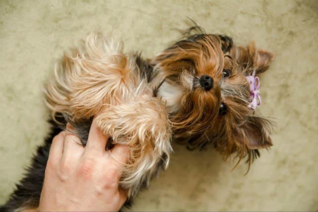 Течка у йоркширского терьера – поведение собаки