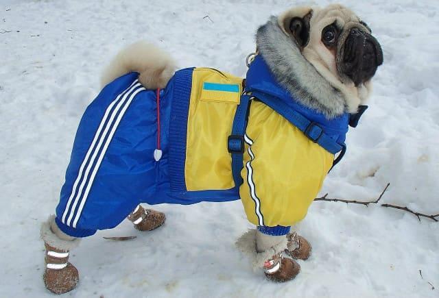 Одежда для мопсов – зимний комбинезон