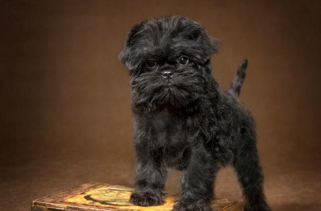 Аффенпинчер – щенок и книга