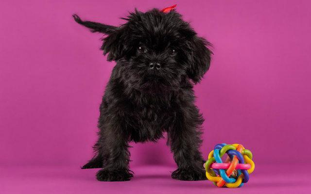 Аффенпинчер – щенок