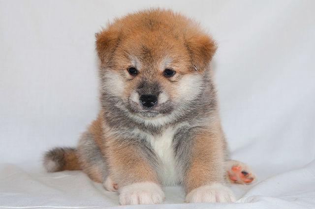 Акита-ину – уход за щенком