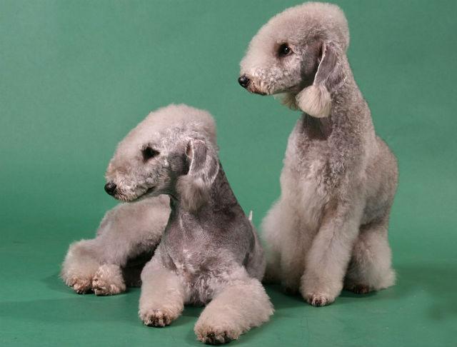 Бедлингтон-терьер – выбор щенка