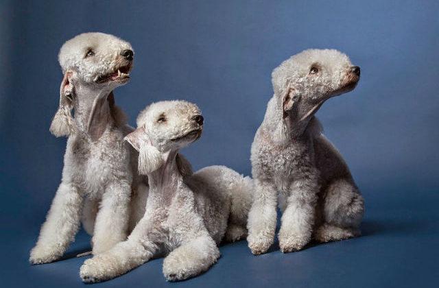 Собаки породы бедлингтон-терьер