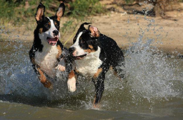 швейцарский зенненхунд – игра в воде