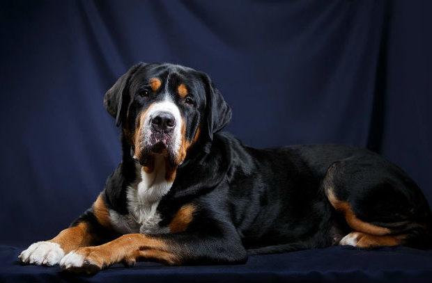 Большой швейцарский зенненхунд – взрослая собака
