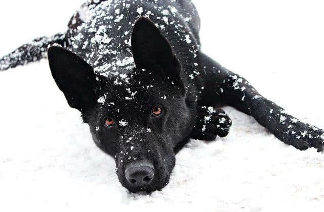 Черная немецкая овчарка лежит на снегу