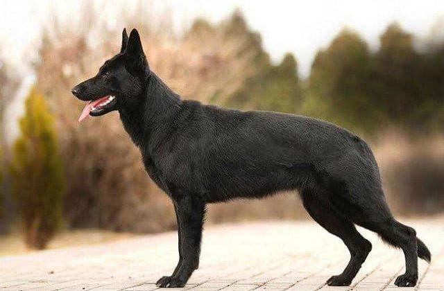 Черная немецкая овчарка короткошерстная