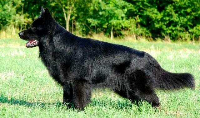 Черная немецкая овчарка – главное фото