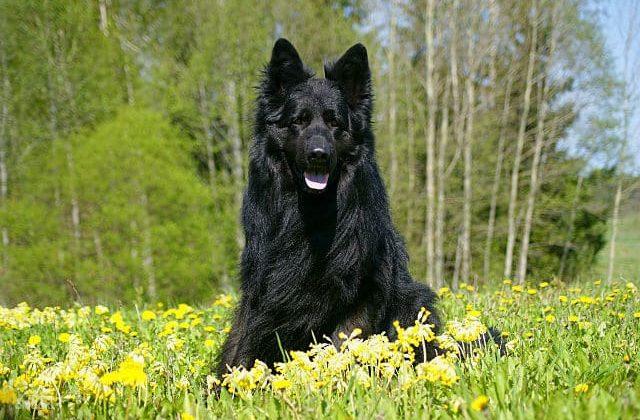Черная немецкая овчарка длинношерстная