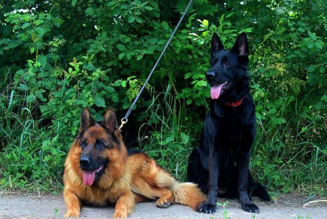 Черная и зонарно-рыжая немецкие овчарки