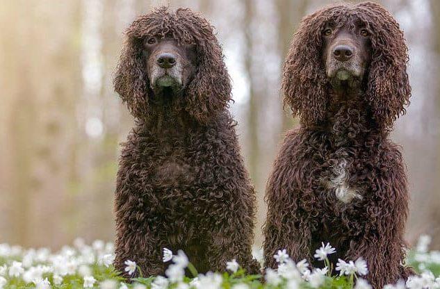 Ирландский водяной спаниель – взрослые собаки