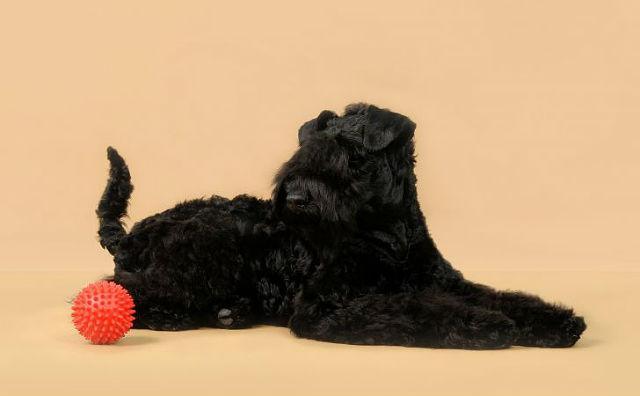 Керри блю терьер – дрессировка щенка