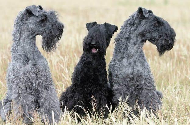 Керри блю терьер – три собаки