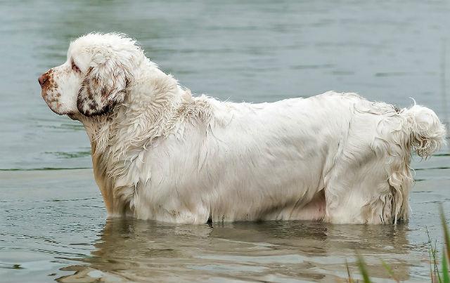 Кламбер-спаниель – купание