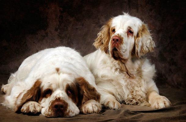 Собаки породы кламбер-спаниель