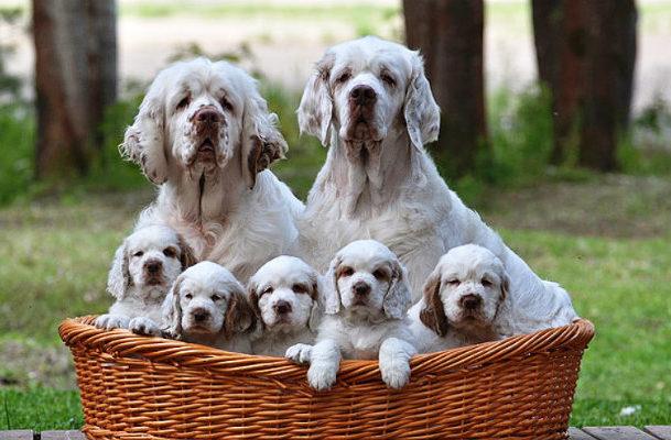 Кламбер-спаниель с щенками