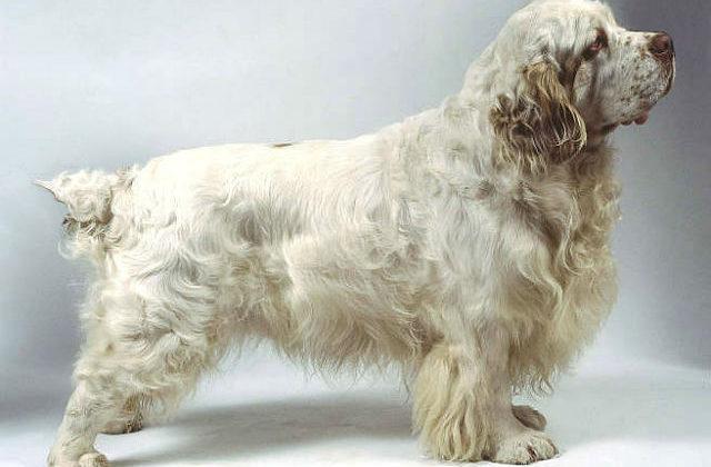 Кламбер-спаниель – взрослый пес