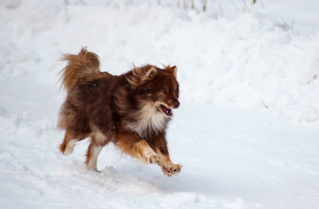 Ненецкая лайка бежит по снегу