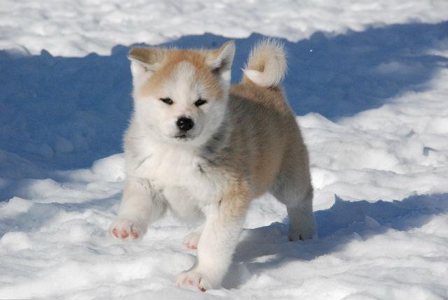 Ненецкая лайка – игривый щенок