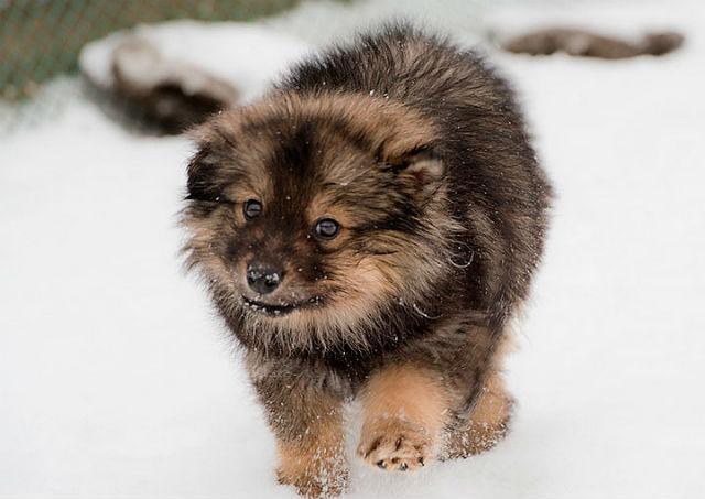 Ненецкая лайка – щенок