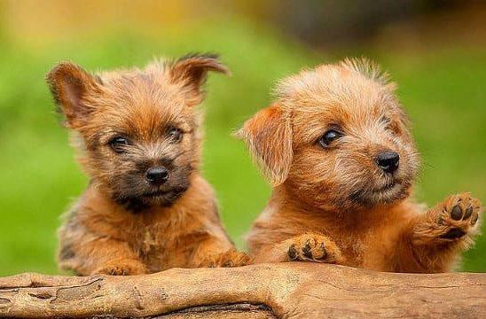 Норфолк-терьер – два щенка