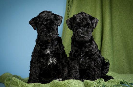 Два щенка породы керри блю терьер