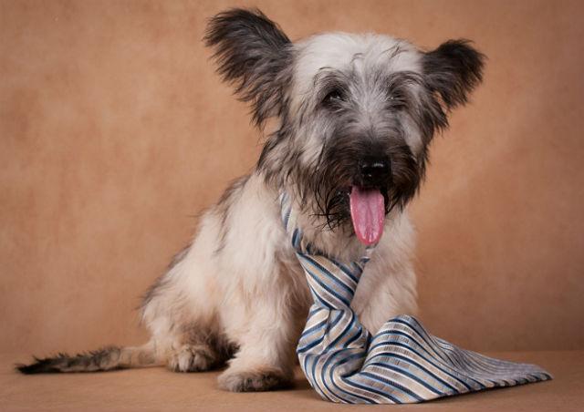 Скайтерьер – выбор щенка