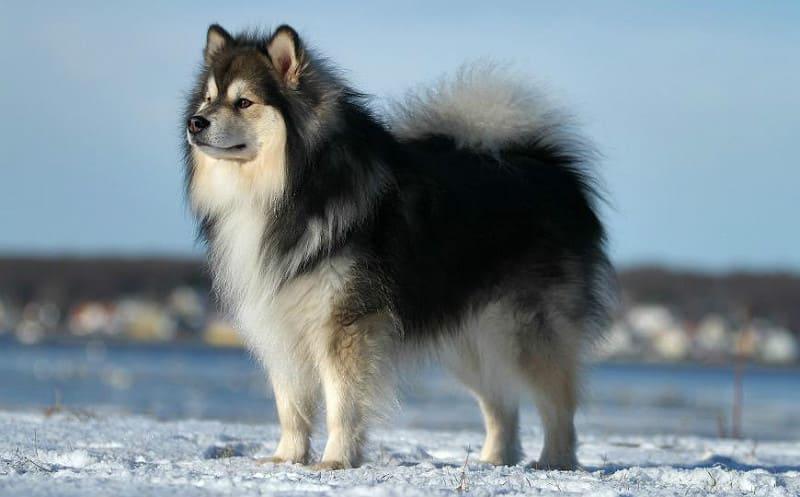 Порода собаки – ненецкая лайка