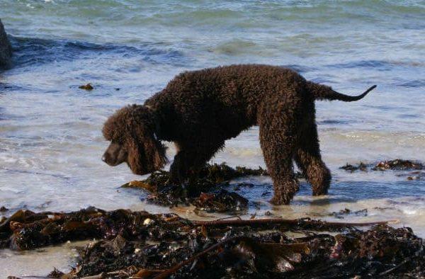 Ирландский водяной спаниель – прогулка по берегу моря